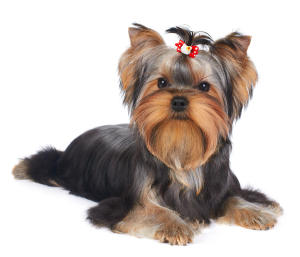 puppy-of-the-yorkshire-terrier-konstantin-gushcha